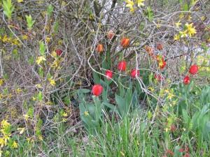 Tulipes cachées