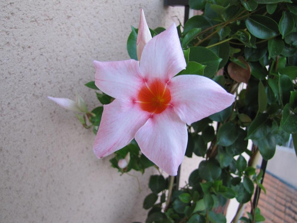 fleur de dipladenia