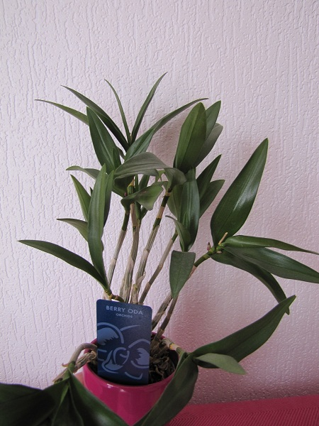 orchidee_pousse2