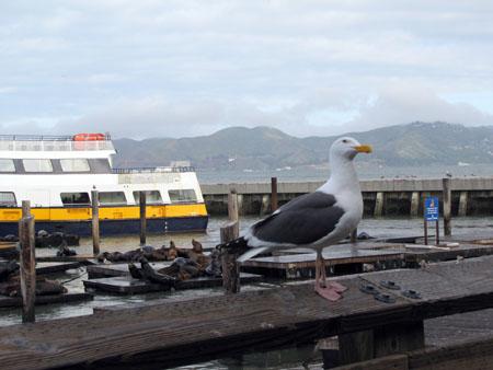 La fameuse mouette avec laquelle j'ai fait la course le matin avant d'aller visiter Alcatraz